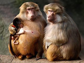 бабуины фото