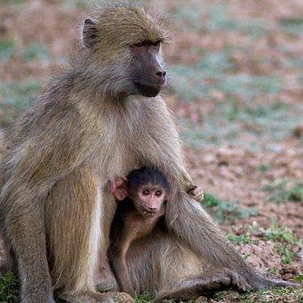бабуин с детенышем фото