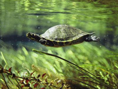 пресноводные черепахи фото