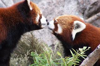 малая (красная) панда фото