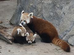 малая панда с детенышами фото