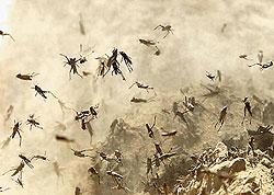 стая пустынной саранчи фото
