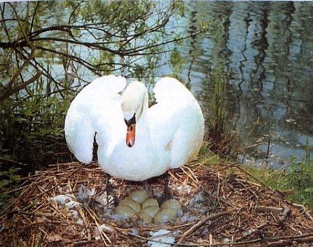 лебедь шипун в гнезде фото