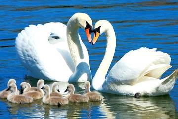 лебедь шипун с потомством фото