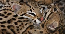 оцелоты кошки фото