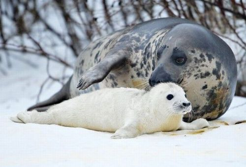 серый тюлень с детенышем фото
