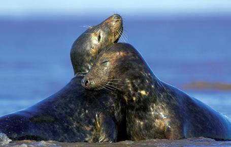 северные тюлени фото