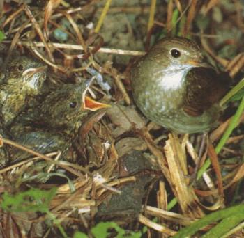 соловей обыкновенный с птенцами фото