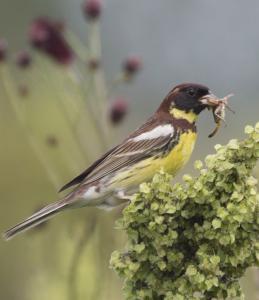 дубровник птица фото