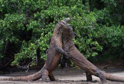 комодские вараны фото
