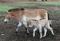Лошадь Пржевальского с жеребенком фото