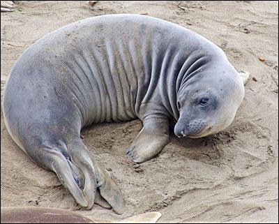морской слон фото