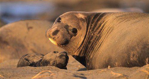морские слоны фото