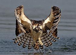 скопа птица фото