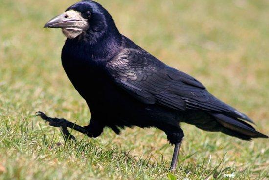 птица грач фото