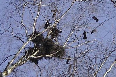 грачи птицы фото