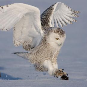 полярная сова на охоте фото
