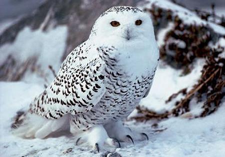 белая сова фото