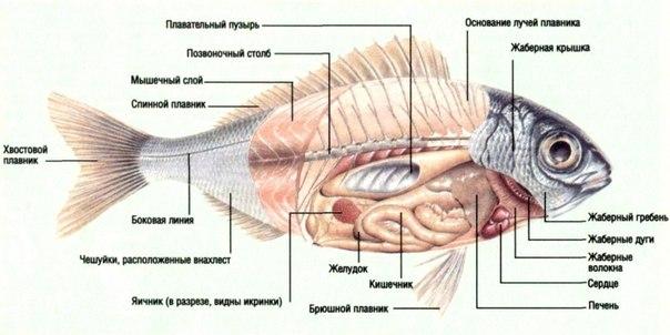 строение костных рыб фото