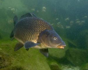 костные рыбы. карп фото