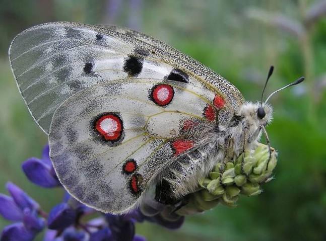 бабочка аполлон фото