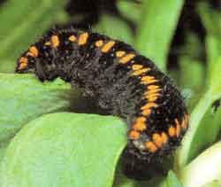 гусенница бабочки аполлон фото