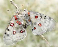 бабочки аполлон фото