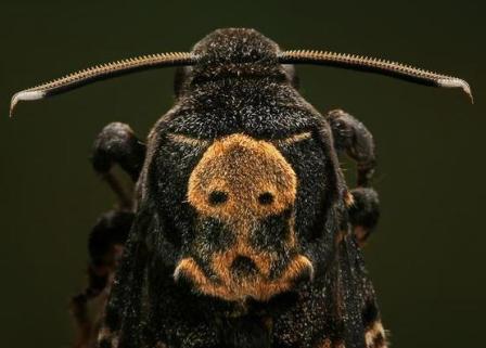 бабочка мертвая голова фото