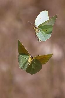 бабочка крушинница (лимонница) фото