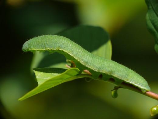 гусеница бабочки лимонницы фото