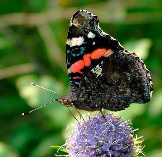 бабочка адмирал фото