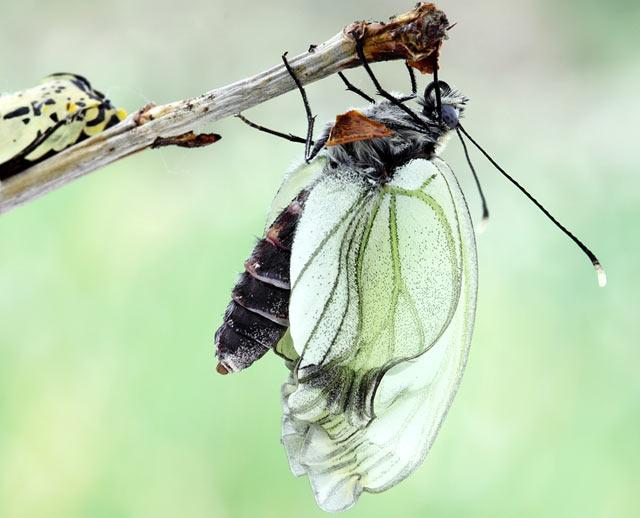 рождение бабочки боярышницы фото