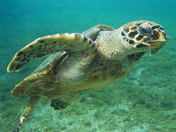 черепаха бисса фото