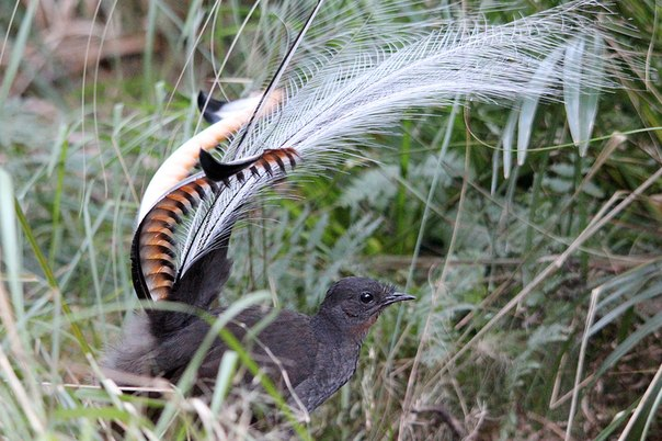 лирохвост птица фото
