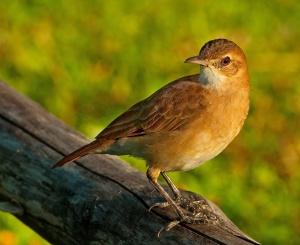 птица рыжий печник фото