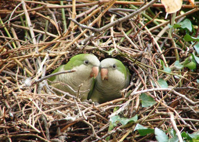попугаи монахи в гнезде фото