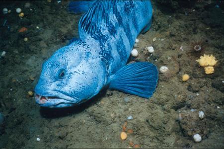 синяя зубатка фото