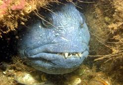зубатка синяя фото