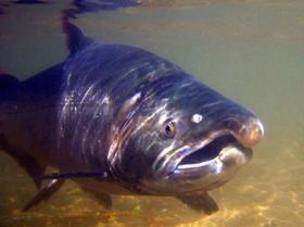 рыба чавыча фото