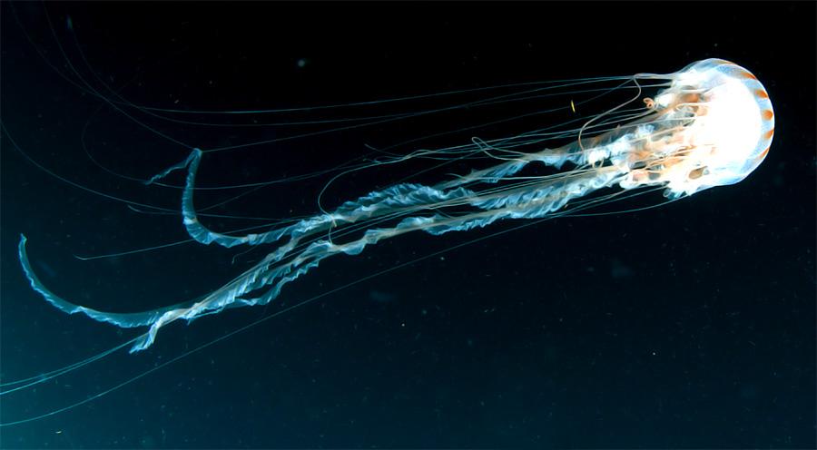 медуза-оса фото