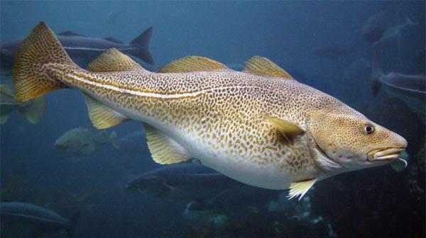 рыба треска фото
