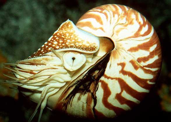 моллюск аргонавт фото