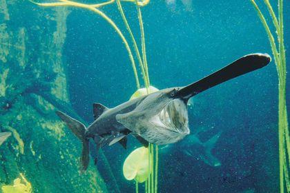 рыба веслонос фото