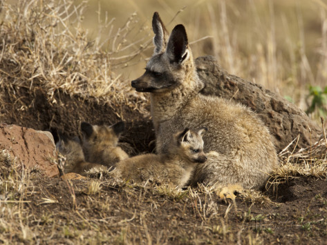 большеухая лисица фото