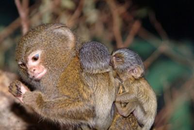 обезьянка карликовая игрунка фото