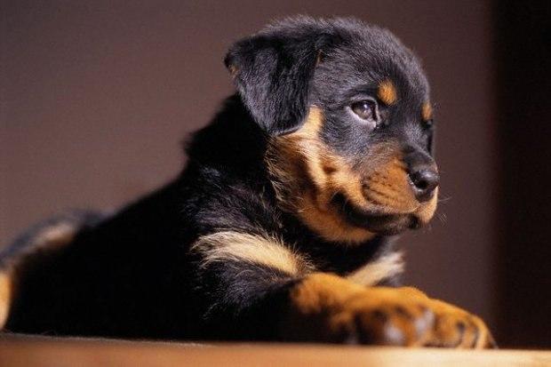 щенок ротвейлера фото