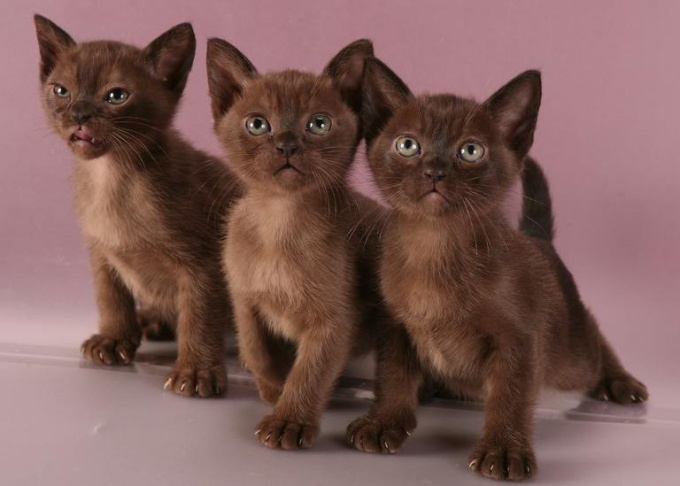 бурманские котята фото