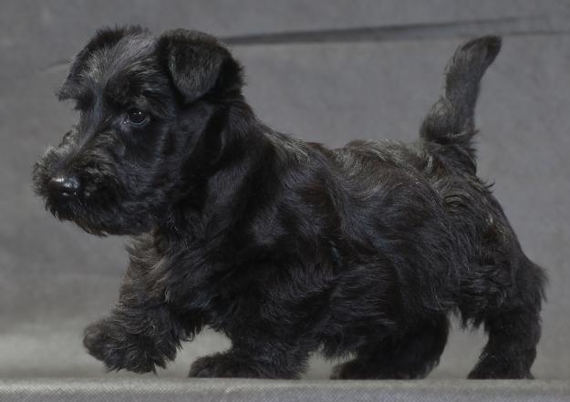 щенок скотч-терьера фото