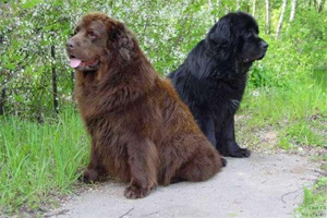 собака водолаз (ньюфаундлен) фото