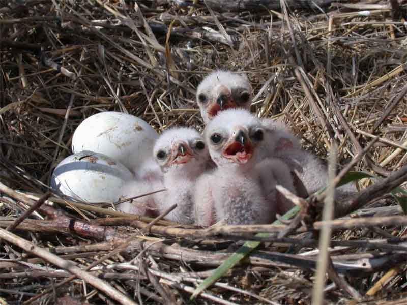 птенцы болотного луня фото